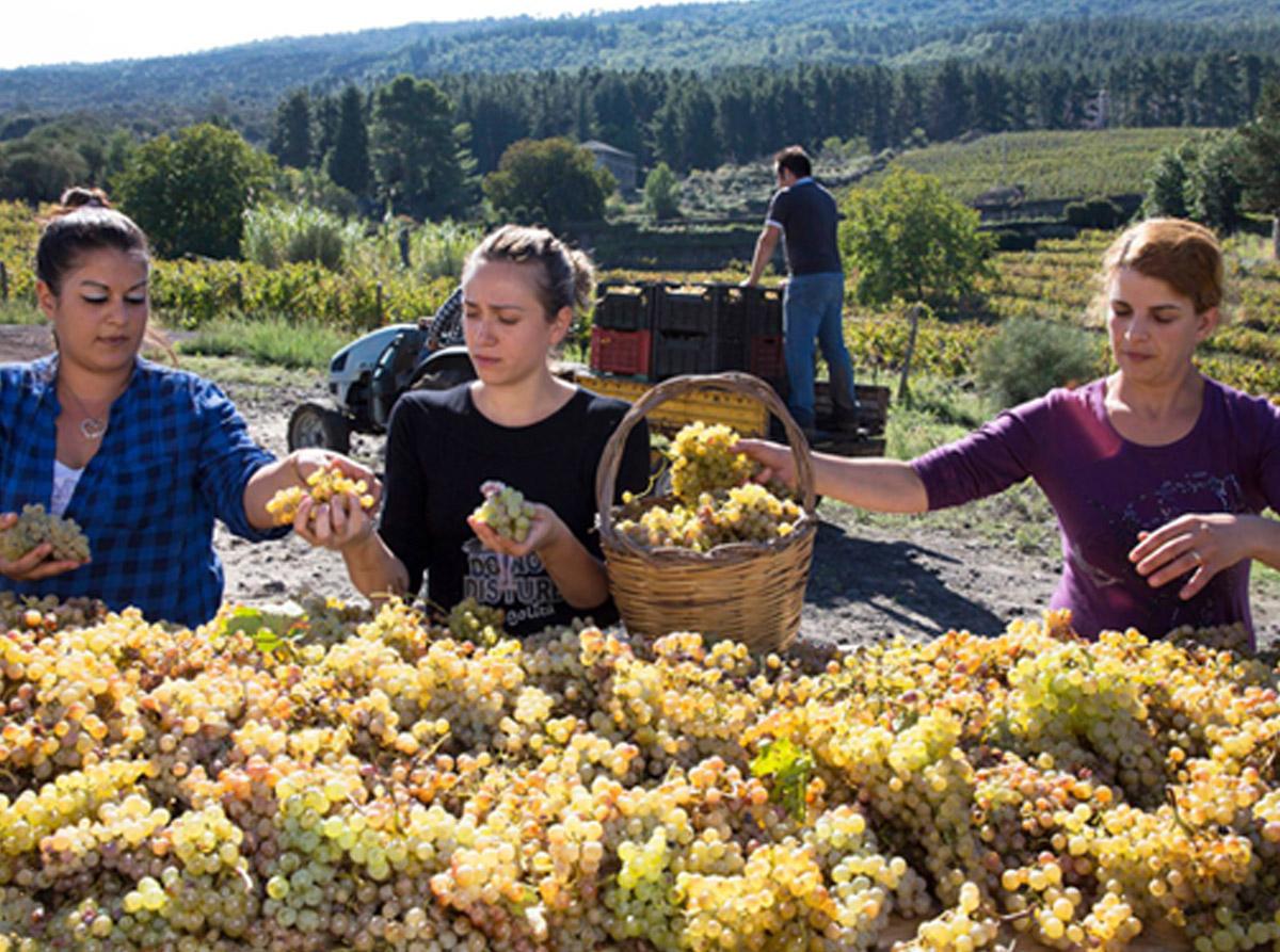 raccolta uva cantina valenti